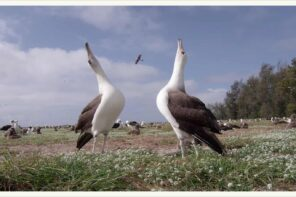 Ballando con gli albatros