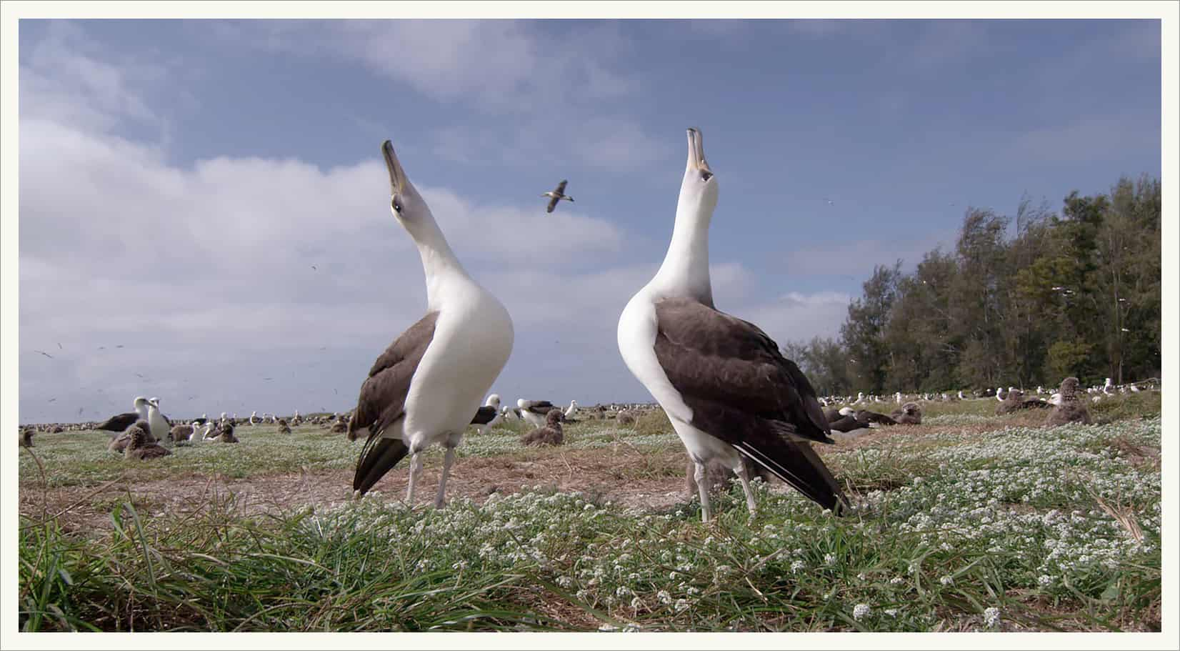 ALBATROSS-mating-dance-still